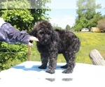Small #16 Goldendoodle