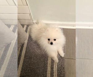 Pomeranian Puppy for sale in CHICAGO RIDGE, IL, USA
