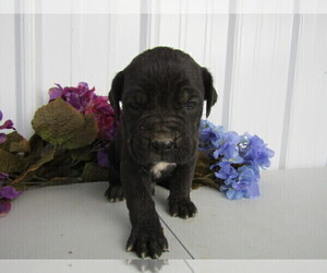 Cane Corso Puppy for sale in FORT WAYNE, IN, USA