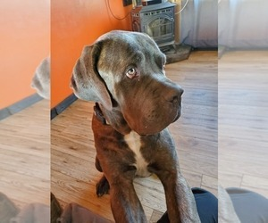 Father of the Cane Corso puppies born on 11/13/2020