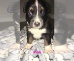 Small Photo #1 Australian Shepherd Puppy For Sale in HAMPTON, VA, USA