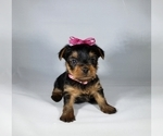Yorkshire Terrier Puppied