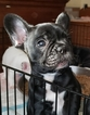 French Bulldog Puppy For Sale in CAPE CORAL, FL, USA