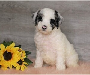Poodle (Standard) Puppy for Sale in FREDERICKSBG, Ohio USA