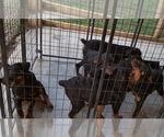 Small #68 Rottweiler