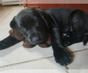 Labrador Retriever Puppy for Sale in FORNEY, Texas USA