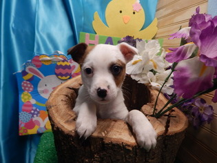 Jack-Rat Terrier Puppy For Sale in HAMMOND, IN