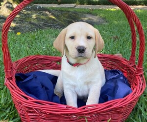 Labrador Retriever Puppy for sale in HOUSTON, TX, USA