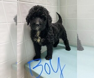 Bernedoodle Puppy for sale in CLARE, IL, USA