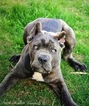 Cane Corso Puppy For Sale in CAMPTON, KY