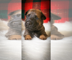 Malinois Puppy for sale in STROUDSBURG, PA, USA