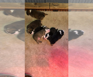 Bulldog Puppy for sale in BLAIRSVILLE, PA, USA