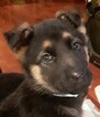 Small Photo #3 German Shepherd Dog Puppy For Sale in SPOKANE, WA, USA