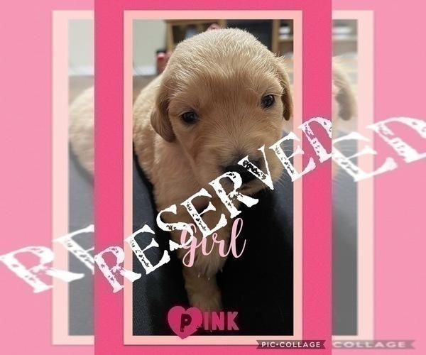 Medium Photo #3 Golden Retriever Puppy For Sale in TEMPLE, TX, USA