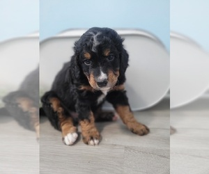 Bernedoodle-Miniature Bernedoodle Mix Puppy for sale in LAKE CITY, FL, USA