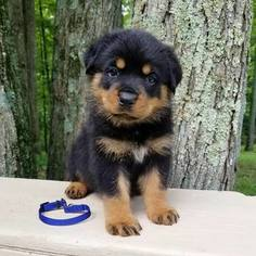 Rottweiler Puppy For Sale in PINE GROVE, PA, USA