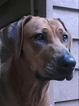 Rhodesian Ridgeback Puppy For Sale in MURPHY, NC, USA