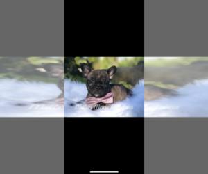 French Bulldog Puppy for sale in BATTLE CREEK, MI, USA