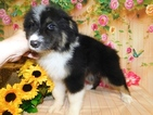 Australian Shepherd Puppy For Sale in HAMMOND, Indiana,