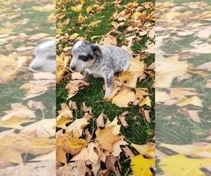 Australian Cattle Dog-Labrador Retriever Mix Puppy for sale in QUINCY, MI, USA