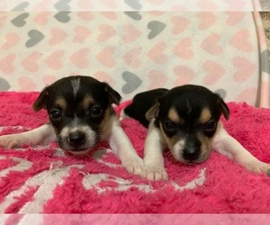 Rat Terrier Puppy for Sale in WHITAKERS, North Carolina USA