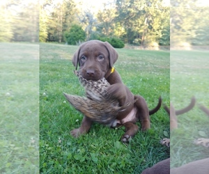 Labrador Retriever Puppy for Sale in BUCKLEY, Washington USA
