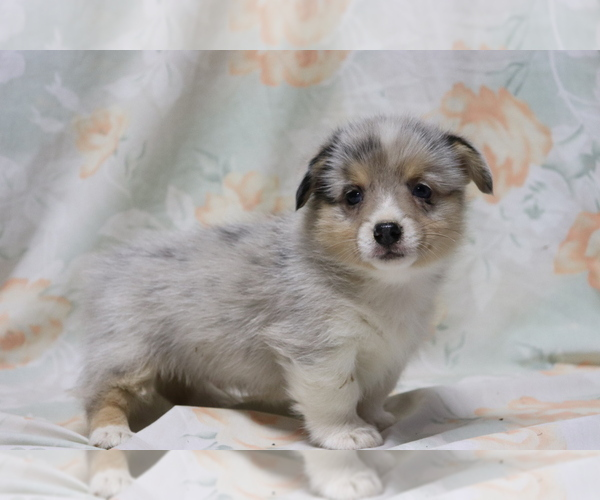 Medium Photo #3 Pembroke Welsh Corgi Puppy For Sale in SHILOH, OH, USA