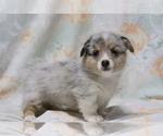 Small Photo #3 Pembroke Welsh Corgi Puppy For Sale in SHILOH, OH, USA