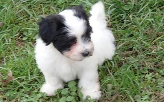 Havanese Puppy For Sale in HIGH RIDGE, MO
