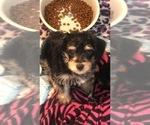 Small #6 Poodle (Toy)-Schnauzer (Miniature) Mix