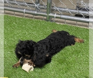 Poodle (Toy) Puppy for sale in ROCK HILL, SC, USA