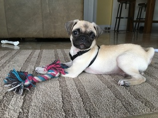 View Ad Pug Puppy For Sale Florida Hollywood Usa