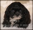 Poodle (Toy)-Shih Tzu Mix Puppy For Sale in COPPOCK, IA, USA