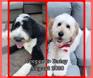 Double Doodle Puppy for sale in BELLVILLE, OH, USA