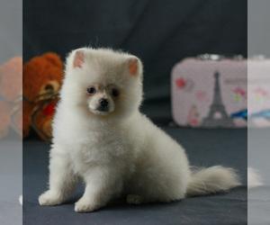 Pomeranian Puppy for Sale in BROOKLYN, New York USA