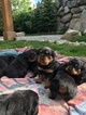 Rottweiler Puppy For Sale in ENTIAT, Washington,