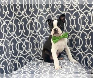 Boston Terrier Puppy for sale in LAKELAND, FL, USA