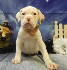 American Bulldog Puppy For Sale in CHICAGO, IL