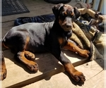 Small #30 Doberman Pinscher