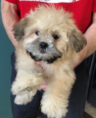 Mal-Shi Puppy For Sale in LIMA, OH, USA