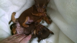 Chihuahua Puppy For Sale in SPLENDORA, TX