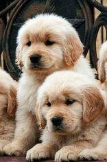Golden Retriever Puppy For Sale in CRANSTON, RI