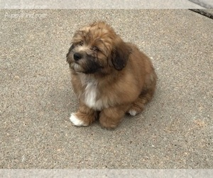 Havanese Puppy for sale in CONVERSE, TX, USA