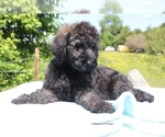 Small #19 Goldendoodle