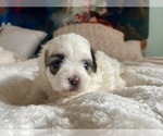 Puppy 4 ShihPoo-Zuchon Mix