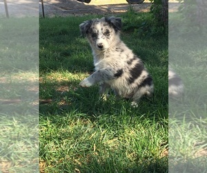 Border-Aussie Puppy for sale in LOMA, CO, USA