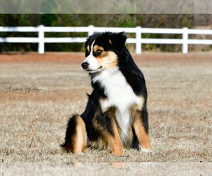 Father of the Australian Shepherd puppies born on 01/29/2021