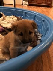 Shiba Inu Puppy For Sale in INVER GROVE, MN, USA