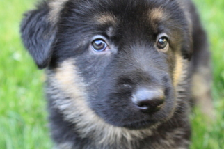 German Shepherd Dog Puppy For Sale in BROWNSBURG, IN, USA