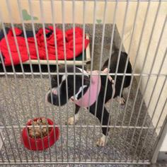 Indy - American Staffordshire Terrier Dog For Adoption
